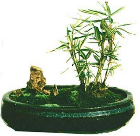 Pasaran Kursi Bambu cara membuat bonsai bambu kuning bibitbunga