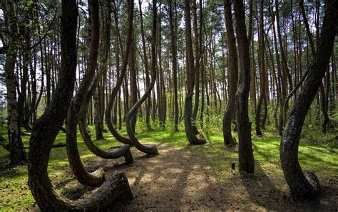 mysterious crooked forest in west pomerania poland crooked forest poland images gallery details