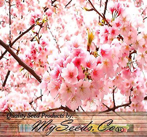 cherry blossom tree zone 5 8 x japanese flowering cherry tree seed prunus serrulata seeds cherry blossom zones