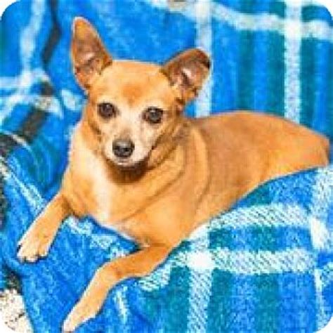 pinscher pomeranian mix seattle wa miniature pinscher pomeranian mix meet a jewlee a for adoption