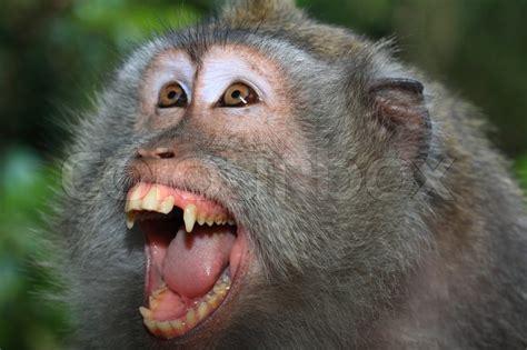 scimmia sedere rosso zornig wilden affen langschwanz makaken portr 228 t
