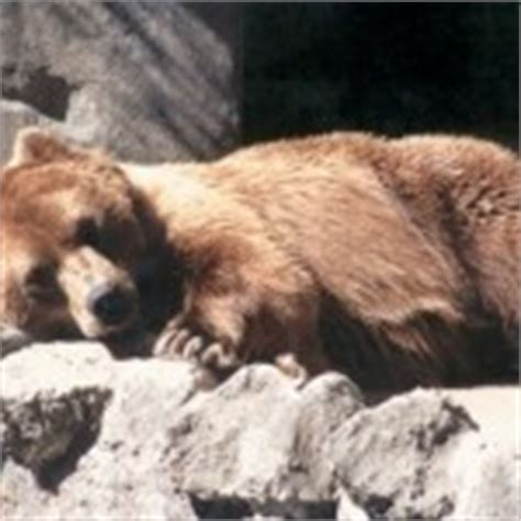 do bears use the bathroom during hibernation hibernating