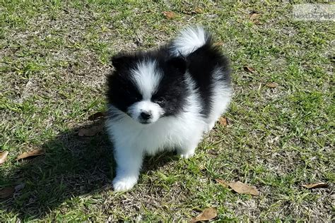 pomeranian puppies in alabama denver pomeranian puppy for sale near mobile alabama c834c915 09c1