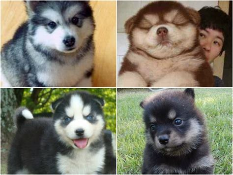 chow husky mix puppies for sale 2017 charming chow chow siberian husky mix types pictures images wallpapers