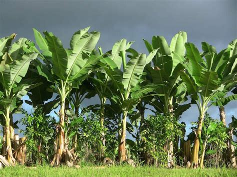 how often do banana trees fruit how many calories are in a banana and 8 great benefits of