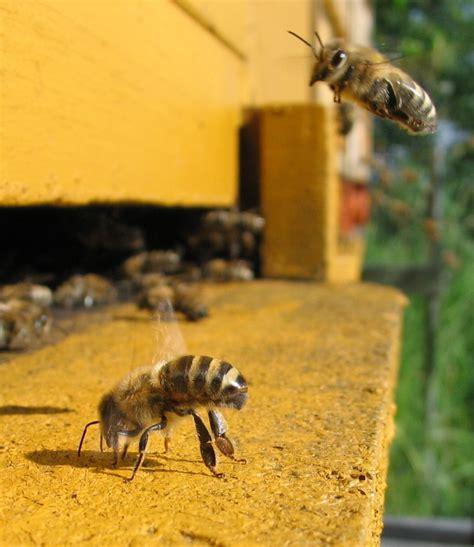 backyard bees backyard bees 28 images triyae backyard beekeeping