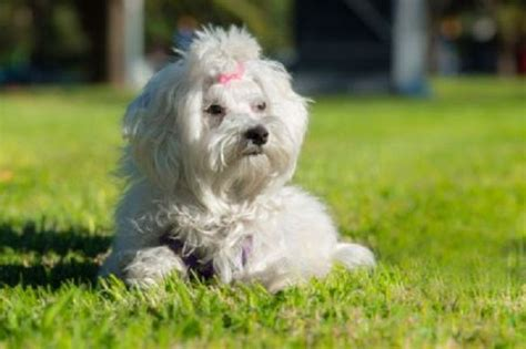 Small Hypoallergenic Non Shedding Dogs by Non Shedding Hypoallergenic Dogs Breeds Puppies