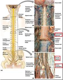 organisation of peripheral nervous system spinal cord