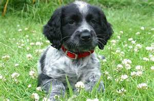 black and white cocker spaniel puppies black and white cocker spaniel www pixshark images galleries with a bite