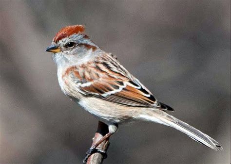 american tree sparrow pentax user photo gallery