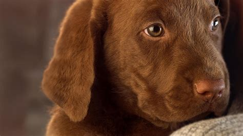 brown puppies sweet brown wallpapers backgrounds dogs wallpapers backgrounds
