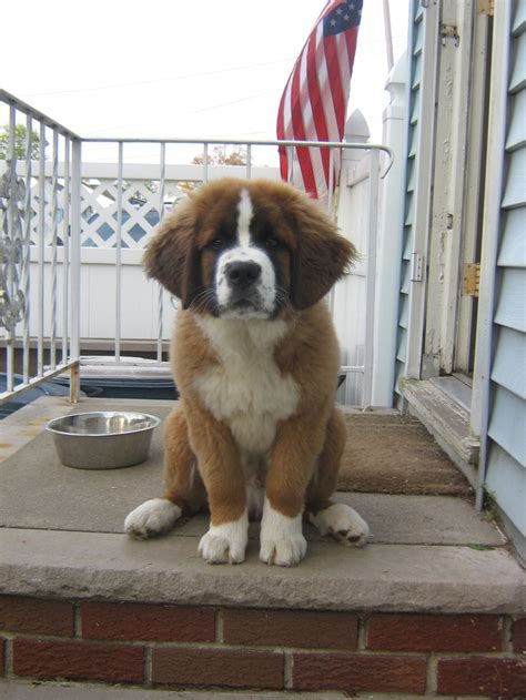 st bernese mountain 25 best images about st bernese on mountain dogs cutest puppy and pyrenees