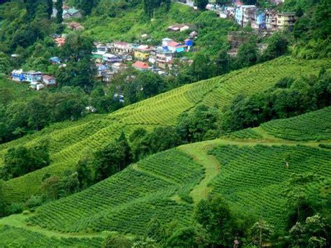 Tea Gardens by Darjeeling Tea Garden Picture Of Tea Garden Darjeeling