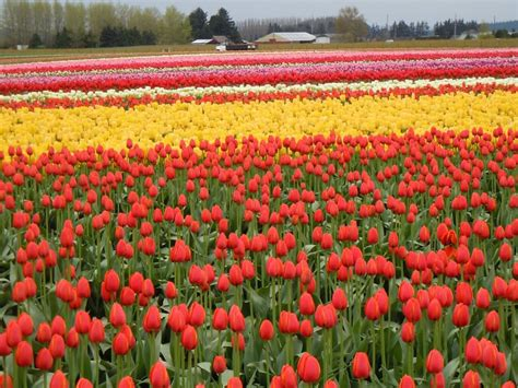 tulip feilds 2014 skagit valley tulip festival pictures blume map