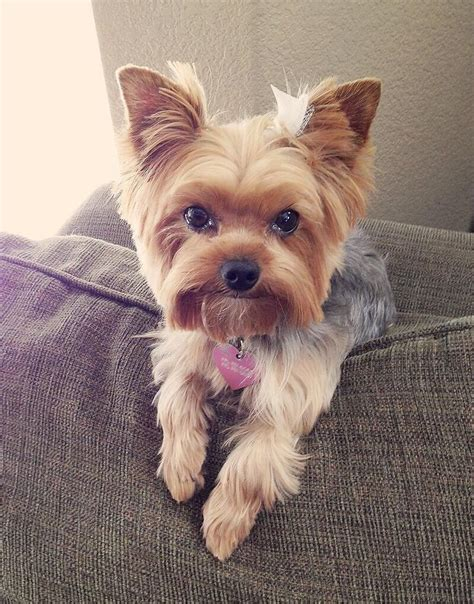 yorkie haircuts photos after her haircut yorkies barlie pinterest