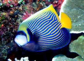 Emperor Angelfish   Fishes World   HD Images & Free Photos