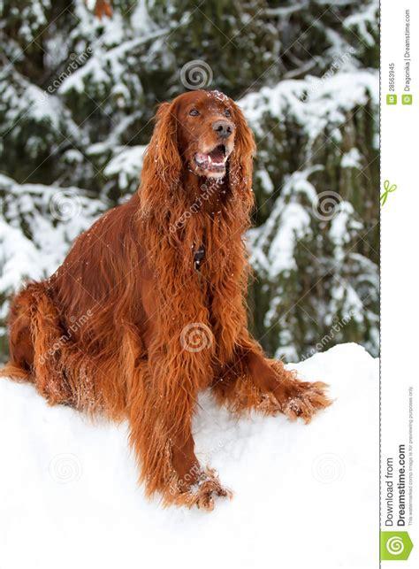 irish setter dog time red irish setter dog royalty free stock photo image