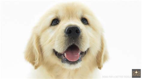 cachorros golden retriever comprar cachorro golden retriever criadero dogking