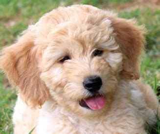 Kaos Happy Puppy by Kaos Farm Goldendoodles Miniature Goldendoodle Puppies Nc