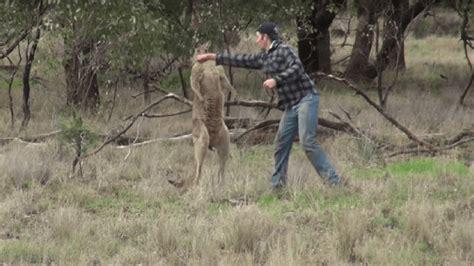 kangaroo punch shocking that will leave you speechless odditiesbizarre