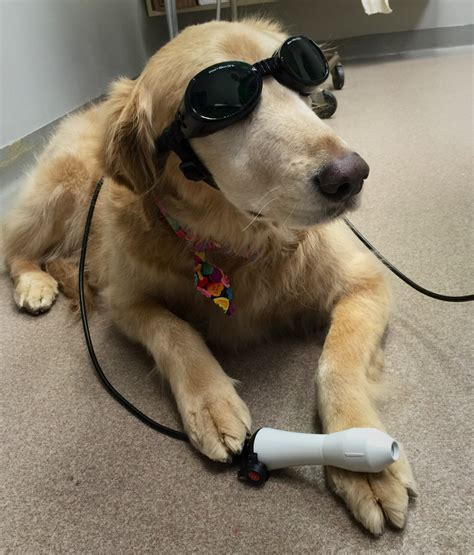 laser therapy for dogs laser therapy veterinarians hillsborough carolina hillsborough veterinary