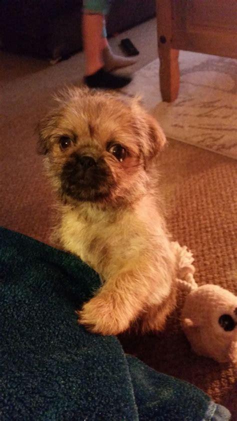 shih tzu 12 weeks pug x shih tzu boy 12 weeks gainsborough lincolnshire pets4homes