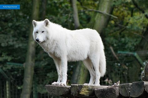 Serigala For Serigala Asli Ganas 4 Slideshow Binatang Seram