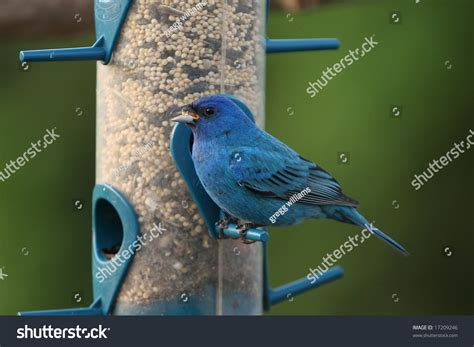 indigo bunting feeding stock photo 17209246 shutterstock