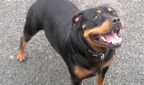 rottweiler x bull terrier spike 6 7 year rottweiler cross staffordshire bull terrier for adoption