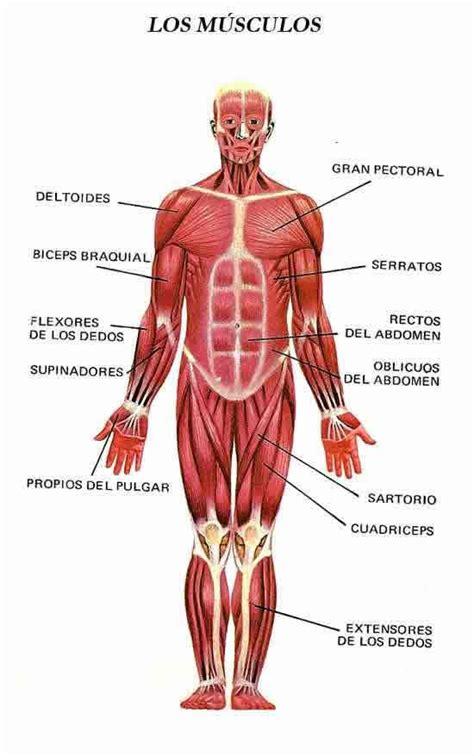 anatoma para posturas de 8415053150 ficha educativa de los musculos del cuerpo humano para ni 241 os el cuerpo humano
