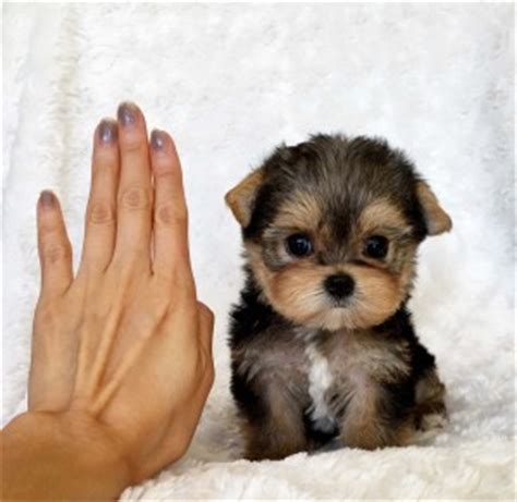 yorkie price range teacup yorkie puppy for sale lilly iheartteacups