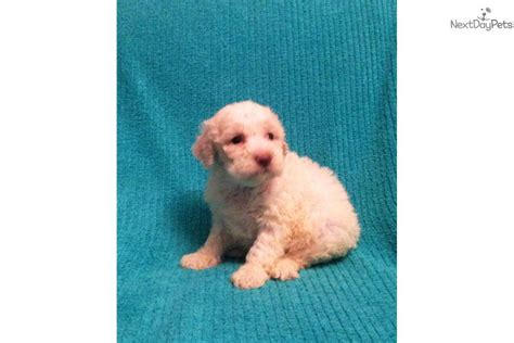 lagotto romagnolo puppies for sale near me lagotto romagnolo puppy for sale near finger lakes new york a3a46a2e 2841