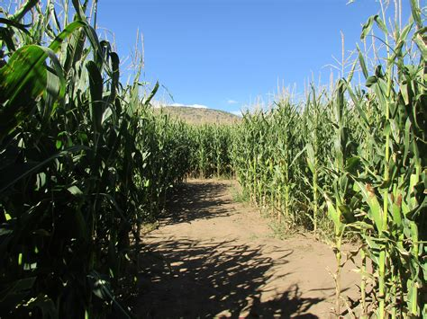 Botanical Gardens Corn Maze Corn Maze Go Inside The Denver Botanic Garden S Chatfield Farm Corn Maze Denver7