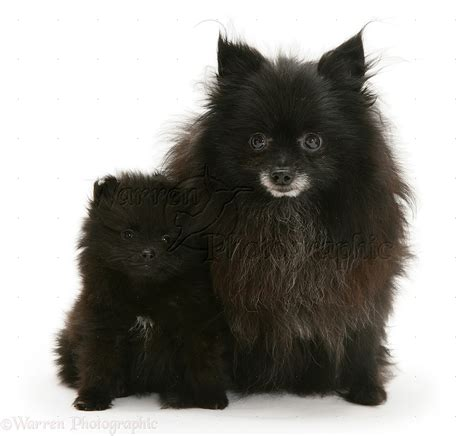 black and pomeranian 35 most awesome black pomeranian pictures and images