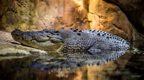 crocodile wallpapers barbaras hd wallpapers - Wallpaper Krokodil