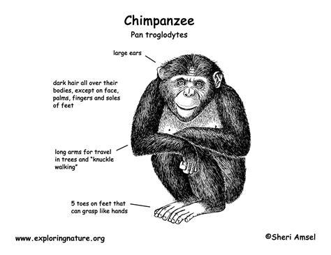 chimpanzee food chain diagram gorilla brain diagram