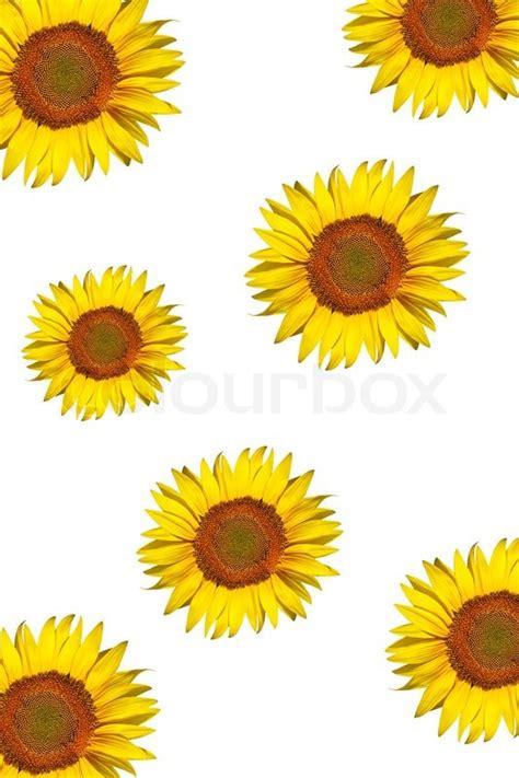 sunflower background isolated   stock photo