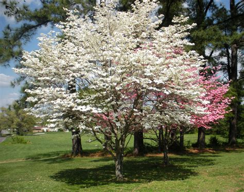 dogwood trees in bloom trees are our friends pinterest dogwood trees gardens and plants