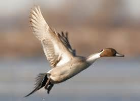 Long Barn California Northern Pintail Identification All About Birds