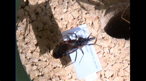 don t panic bugs that experts say don t panic kissing bugs rare in virginia