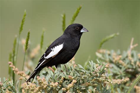 lark bunting audubon field guide