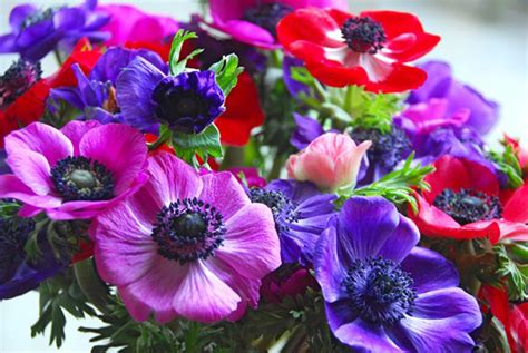 anemone de caen anemone de caen mixed pack of 10 anemone corms
