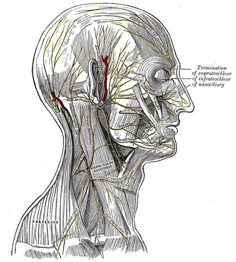 arteria mascellare interna great auricular nerve