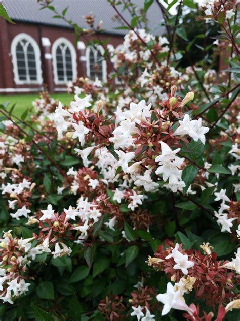 summer flowering shrubs summer flowering shrubs hgtv