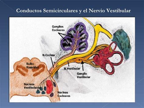 nervio vestibular sistema vestibular
