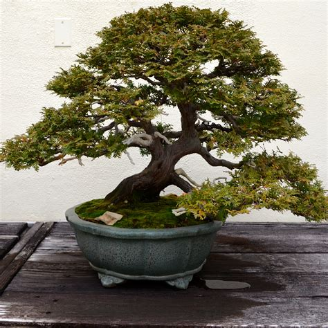 Old Bonsai Tree | a visit with a 389 year old bonsai tree after orange county