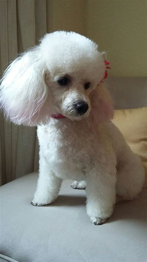 french poodle haircuts 1579 best images about standard poodle on pinterest
