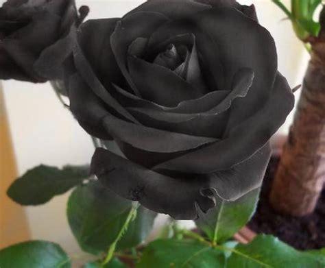imagenes boinas negras fotos y dibujos de rosas negras imagui