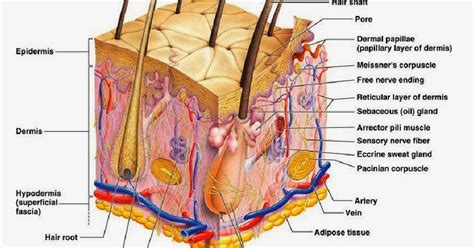 diagram of the skin image gallery skin diagram
