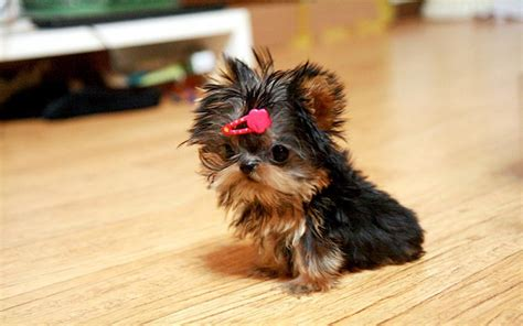 micro teacup yorkie micro teacup yorkies car interior design